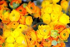 Yellow and orange ranunculus Royalty Free Stock Photography