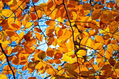 Yellow, orange and red autumn foliage. At sunny day Stock Photos