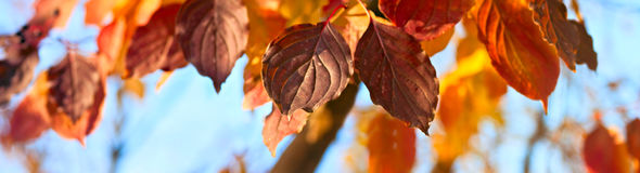 Yellow, orange and red autumn leaves - autumn panorama Royalty Free Stock Images