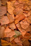 Yellow, orange and red autumn leaves in fall park. Royalty Free Stock Photo