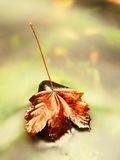 Yellow orange red  autumn maple leaves on water, dried leaf Royalty Free Stock Photos