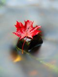 Yellow orange red  autumn maple leaves on water, dried leaf Stock Photos