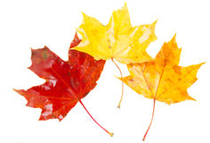 Yellow, orange and red fall leaves Stock Photography