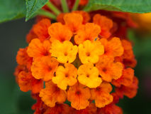 Yellow Orange and Red Hedge Flowers Royalty Free Stock Photo