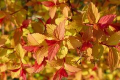 Yellow, orange and red leaves of Weigela florida 01. Yellow, orange and red leaves of Weigela florida during a sunny day stock images