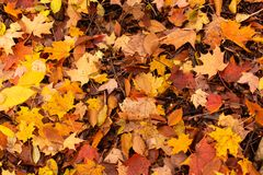 Yellow Orange and Red Maple Leaves. A closeup of some yellow, orange, and red maple leaves along with a few beech leaves on the ground in the woods during the stock images