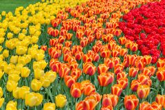 Yellow, orange and red tulips in a park background. Selective focus. Yellow, orange and red tulips in a park background stock images