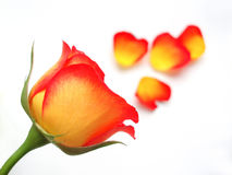 Yellow and orange rose. Close-up of yellow and orange rose on white background stock images