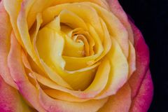 Yellow And Orange Rose Stock Photography
