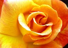 Yellow and orange rose. Close up of a beautiful yellow and orange rose stock photos