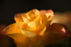 Yellow with orange rose flower with dew, close up. Yellow with orange rose flower with dew drops, close up Royalty Free Stock Images