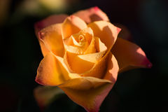 Yellow with orange rose flower with dew, close up. Yellow with orange rose flower with dew drops, close up Stock Image