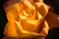 Yellow with orange rose flower with dew, close up Stock Photos