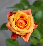 A yellow-orange rose flower with slightly damaged petals. Closeup of a yellow-pink rose flower with slightly damaged petals stock image