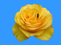 Yellow-orange rose flower 'Valencia' with a fly isolated on blue Royalty Free Stock Photo