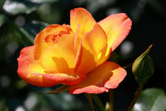 Yellow-orange rose Royalty Free Stock Images