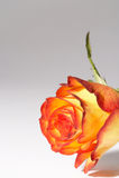 Yellow, orange rose - gelb, orange Rose. Two colored Rose on white Background - zweifarbige Rose auf weissem Hintergrund stock images