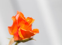 Yellow-orange rose on a gray background. Close up, small depth of sharpness, copyspace right stock image