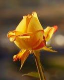 Yellow-orange rose. In morning light Stock Photo