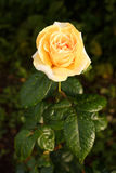 Yellow-orange rose with raindrops. A rose flower in the garden after the rain. Beautiful garden rose, lit by the setting sun royalty free stock photos