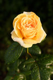 Yellow-orange rose with raindrops. A rose flower in the garden after the rain. Beautiful garden rose, lit by the setting sun stock photography
