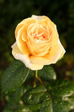 Yellow-orange rose with raindrops. royalty free stock image
