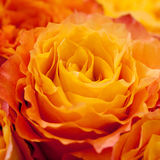 Yellow and orange roses. Bouquet of beautiful yellow and orange roses, macro Stock Photography