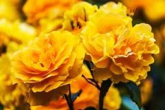 Yellow and orange roses Royalty Free Stock Photos