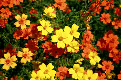 Yellow and orange small garden flowers. With tiny leaves Stock Photos