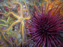Yellow and orange Spiny Brittle Star and a Purple Sea Urchin. Found off of central California's Channel Islands stock image