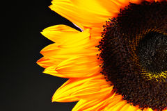Yellow orange sunflower Stock Images