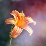 Yellow-orange tiger lily Royalty Free Stock Image