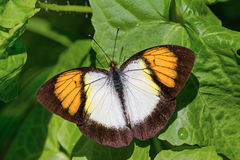 Yellow orange tip butterfly Stock Photo
