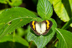 Yellow Orange Tip butterfly Royalty Free Stock Images