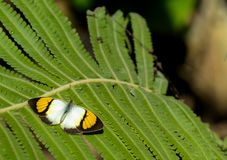 Yellow Orange Tip butterfly Stock Image