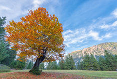 Yellow and orange tree in fall Royalty Free Stock Photography