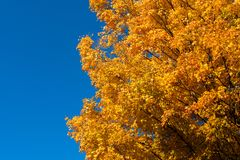 Yellow and Orange Tree Leaves with Horizontal Blue Sky. Looking up at a tree with yellow and orange leaves during the fall season with a clear blue sky stock image