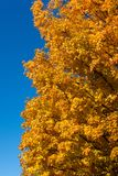 Yellow and Orange Tree Leaves with Vertical Blue Sky. Looking up at a tree with yellow and orange leaves during the fall season with a clear blue sky stock images