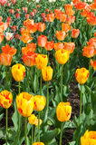 Yellow and orange tulip fields Stock Photo