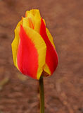 An  yellow and orange tulip head Royalty Free Stock Image