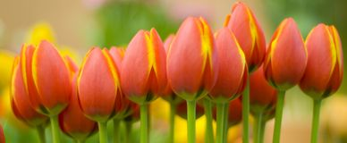 Yellow orange tulips Stock Photo