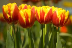Yellow orange tulips Stock Photography