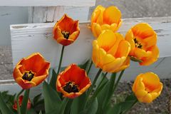 Yellow and orange tulips Stock Image