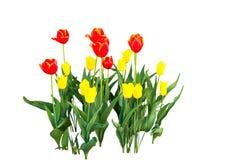 Yellow and orange tulips Royalty Free Stock Photo
