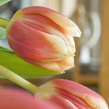Yellow orange tulips square Royalty Free Stock Photo