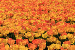 Yellow and orange tulips Royalty Free Stock Images