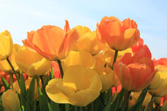 Yellow and orange tulips Stock Photos