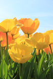 Yellow and orange tulips Royalty Free Stock Photography