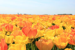 Yellow and orange tulips Royalty Free Stock Image