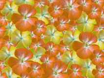 Yellow-orange-white  flowers geranium. floral background.  background of flowers. for design Stock Photo